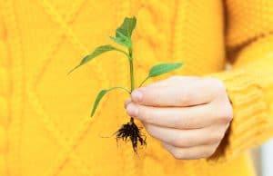 Planta i hand